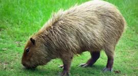 Capybara Photo