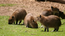 Capybara Photo Download