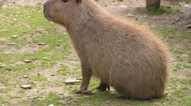 Capybara Photo Free