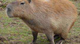 Capybara Photo#1