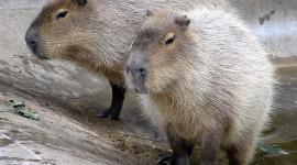 Capybara Photo#2