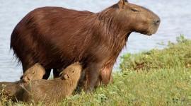 Capybara Pics