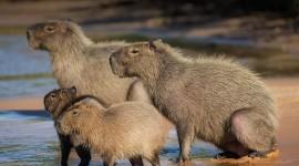Capybara Wallpaper 1080p