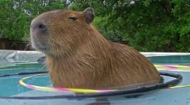Capybara Wallpaper