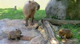 Capybara Wallpaper Download