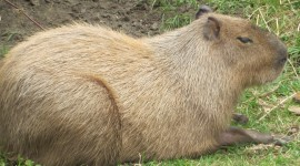 Capybara Wallpaper Download Free