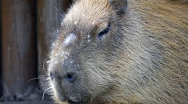 Capybara Wallpaper Download#1
