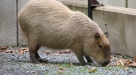 Capybara Wallpaper Download#2