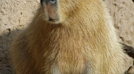 Capybara Wallpaper For IPhone
