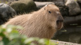 Capybara Wallpaper For PC