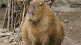 Capybara Wallpaper Free