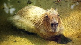 Capybara Wallpaper Full HD