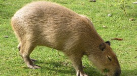 Capybara Wallpaper Gallery