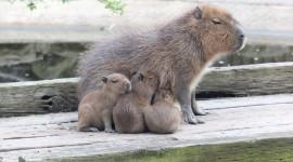 Capybara Wallpaper HQ
