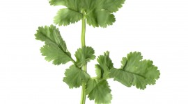 Cilantro Wallpaper For IPhone Free