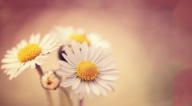 Daisies On The Table Wallpaper 1080p