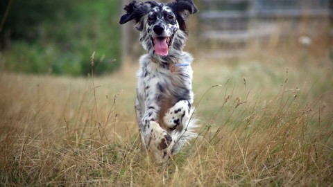 English Setter wallpapers high quality