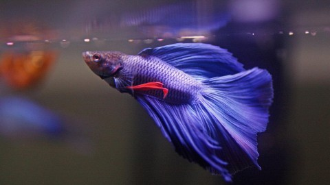 Fish Bettas wallpapers high quality
