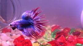 Fish Bettas Desktop Wallpaper