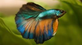 Fish Bettas Desktop Wallpaper For PC