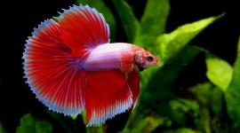 Fish Bettas Desktop Wallpaper HD