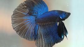 Fish Bettas Photo Download