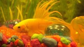 Fish Bettas Photo#2