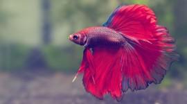 Fish Bettas Wallpaper 1080p