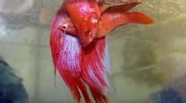 Fish Bettas Wallpaper For Desktop