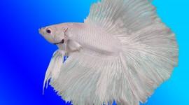 Fish Bettas Wallpaper Full HD