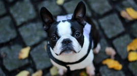 French Bulldog Best Wallpaper