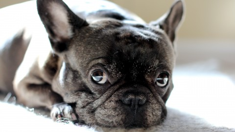 French Bulldog wallpapers high quality