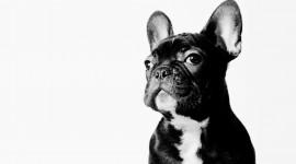 French Bulldog Wallpaper For Desktop