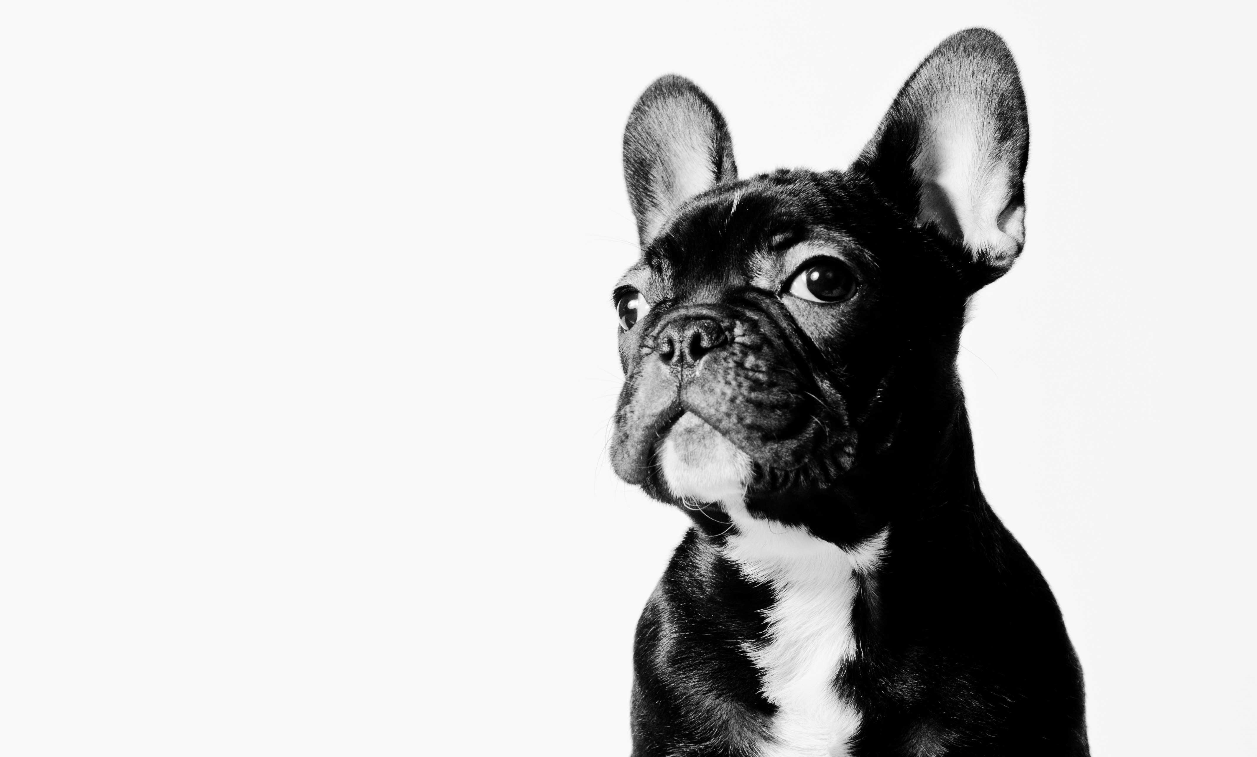 French Bulldog Wallpapers High Quality Download Free