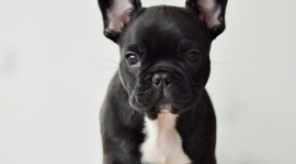 French Bulldog Wallpaper For IPhone