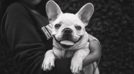 French Bulldog Wallpaper For PC