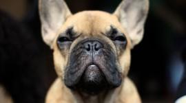 French Bulldog Wallpaper High Definition