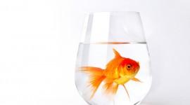 Golden Fish Desktop Wallpaper