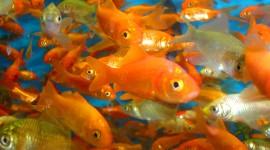 Golden Fish Desktop Wallpaper For PC