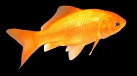 Golden Fish Desktop Wallpaper HD