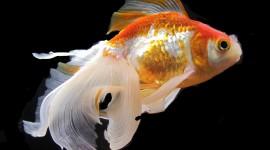 Golden Fish Photo Free