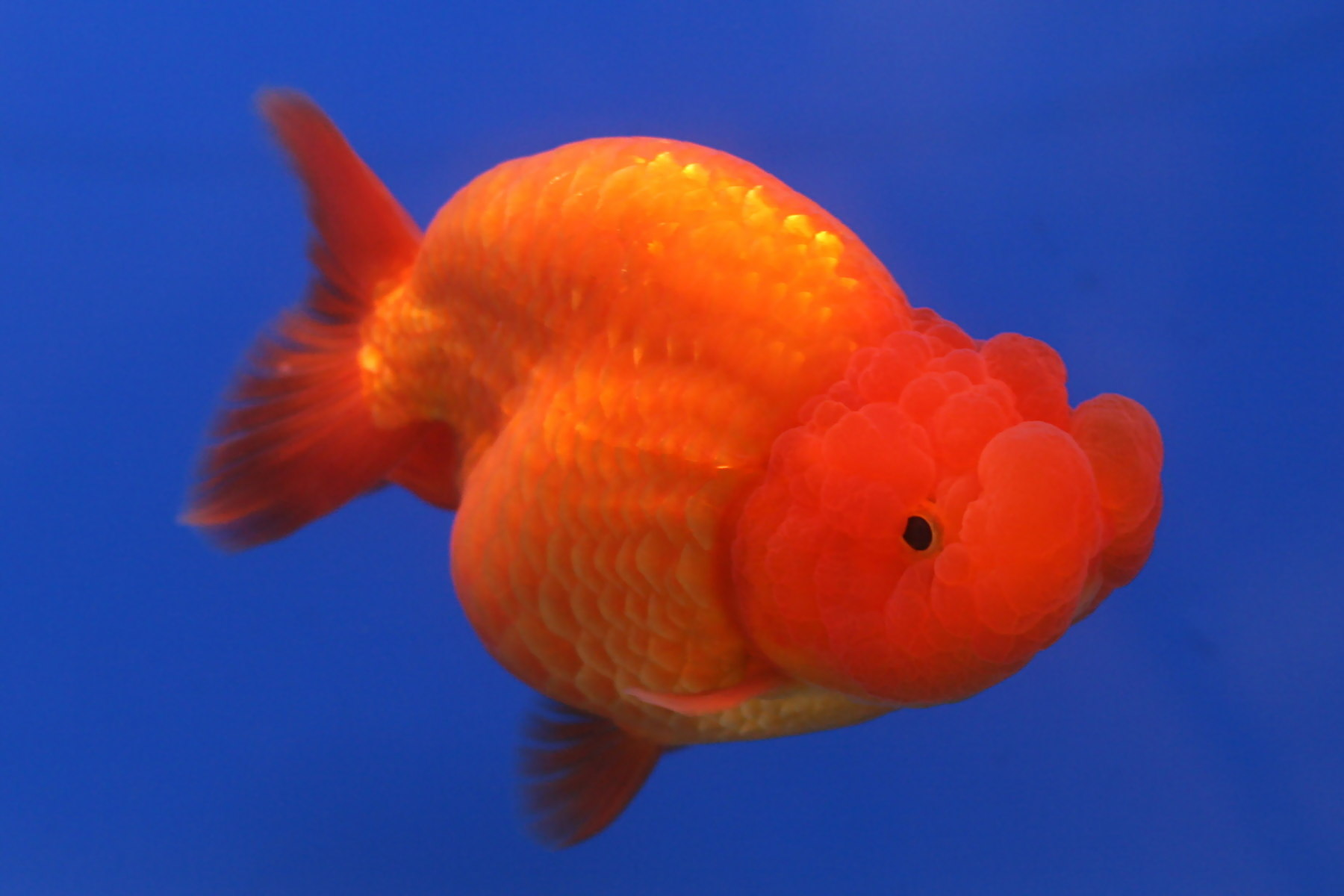 Wallpaper iphone ikan - Golden Fish Wallpapers