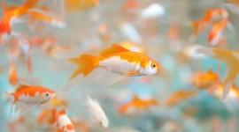Golden Fish Pics