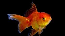 Golden Fish Wallpaper 1080p