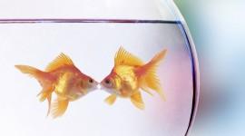 Golden Fish Wallpaper