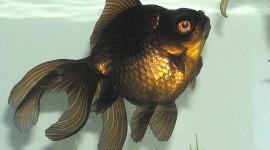 Golden Fish Wallpaper For Desktop