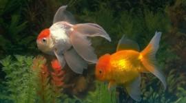 Golden Fish Wallpaper For PC