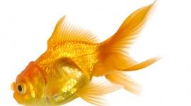 Golden Fish Wallpaper Free