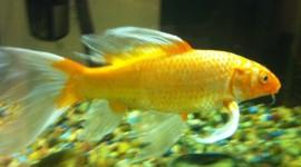 Golden Fish Wallpaper Full HD