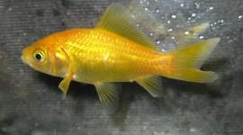 Golden Fish Wallpaper Gallery